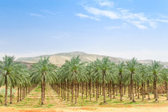 Date palm orchard plantation oasis in Middle East desert. Date palm orchard plantation with high trees rows: oasis in Middle East desert against mountains and Royalty Free Stock Photos