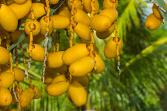 Date Palm,palm,flower,plant Stock Photos