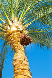 Date palm. Palma growing figs on a blue sky background Royalty Free Stock Image
