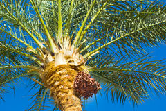 Date palm. Palma growing figs on a blue sky background royalty free stock images