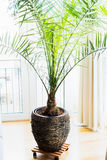 Date palm in patio container at window , home interior with tropical palm plant. Phoenix dactylifera Royalty Free Stock Photography
