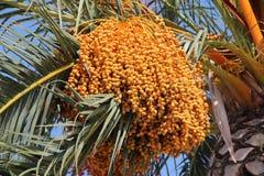 Date palm (Phoenix dactylifera) Stock Image