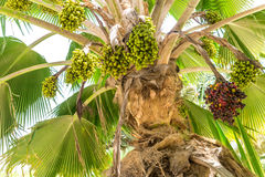 Date palm Royalty Free Stock Photos