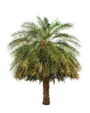 Date palm (Phoenix dactylifera) Royalty Free Stock Images