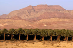 Date Palm Plantation Royalty Free Stock Image
