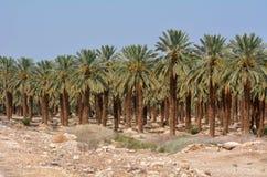 Date Palm Plantation - Dead Sea, Israel Royalty Free Stock Image