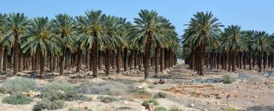 Date Palm Plantation - Dead Sea, Israel Stock Photography