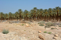 Date Palm Plantation - Dead Sea, Israel Royalty Free Stock Image