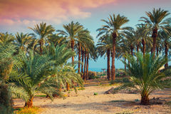 Date palm plantation Royalty Free Stock Photos