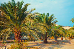 Date palm plantation Royalty Free Stock Images