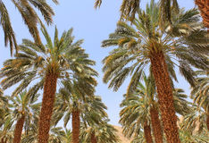 Date palm plantation Stock Photo