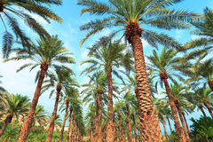 Date palm plantation Stock Image