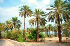 Date palm plantation Stock Images
