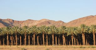 Date Palm Plantation - South Africa Stock Image