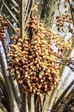 Date Palm, Produce, Food, Fruit Stock Photo
