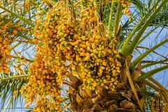 Date palm with ripe dates. Royalty Free Stock Photography