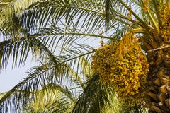 Date palm with ripe dates. Stock Image