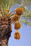 Date palm with ripe fruit Stock Images