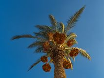 Date palm with ripe fruits. Stock Photo