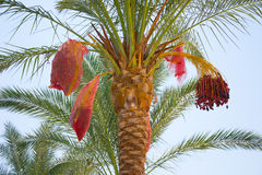 Date Palm in Sharm El Sheikh Royalty Free Stock Photos
