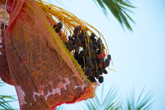 Date Palm in Sharm El Sheikh Royalty Free Stock Image