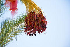 Date Palm in Sharm El Sheikh Royalty Free Stock Photo