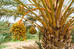 Date palm. From south Morocco Royalty Free Stock Image