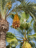 Date palm with sweet dates Royalty Free Stock Images