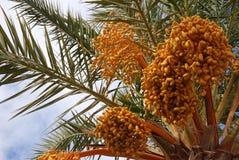 Date palm tree Stock Photos