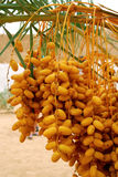 Date palm tree Royalty Free Stock Images