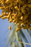 Date Palm Tree Stock Photo
