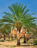 Date palm tree Stock Image