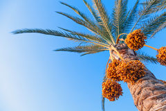 Date-palm tree above bright blue sky Stock Photo