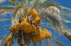 Date-palm Tree Royalty Free Stock Photo