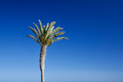 date palm tree against blue sky Royalty Free Stock Photography