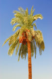 Date palm tree against the sky Royalty Free Stock Image
