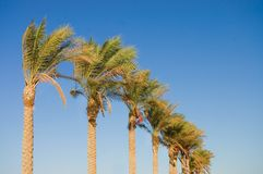 Date palm tree against the sky Stock Photography