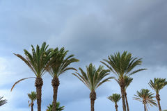 Date palm tree against the sky Royalty Free Stock Photography