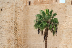 Date palm tree against the stonewall Royalty Free Stock Image