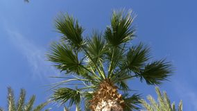 Date palm tree on blue sky background. Green palm tree low angle view. Date palm tree on blue sky background. Low angle view leaves and trunk of green palm tree stock video footage