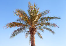 Date palm tree on clear blue sky Royalty Free Stock Photography