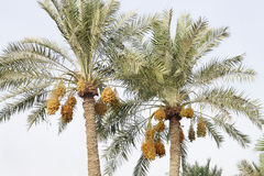 Date palm tree with clusters of kimri dates Stock Image