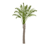 Date palm tree in color stock photography