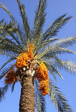 Date palm tree with dates Royalty Free Stock Photography