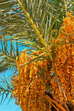 Date palm tree with dates Stock Photography