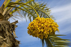 Date palm tree with dates Royalty Free Stock Images