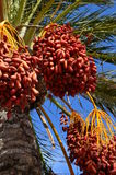 Date palm tree with dates Stock Image