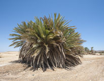 Date palm tree in desert landscape Stock Photography