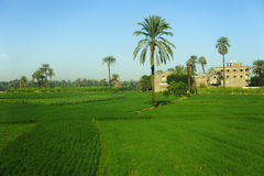 Date palm tree in farm land Stock Photo