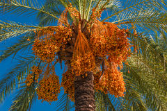 Date palm tree in front of blue sky Royalty Free Stock Photo